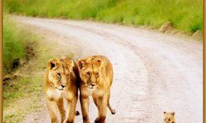 familia leones